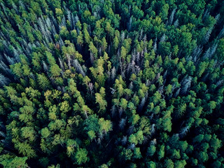 Beautiful panoramic aerial drone view to Bialowieza Forest - one of the last and largest remaining parts of the immense primeval forest that once stretched across the European Plain Wall mural