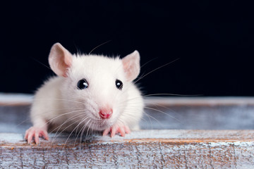 white rat on a  wooden table on a black background, place for your text, the symbol of the Chinese New Year
