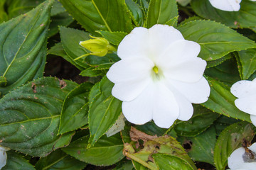 Close-up of New Guinea Impatiens white plant.