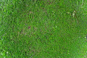 beauty full green grass, Green lawn, Backyard for background, Grass texture, Green lawn desktop picture, Park lawn texture.