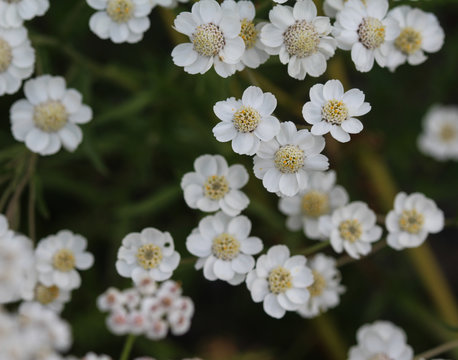 Achillea millefolium, commonly known as yarrow, blooming in spring