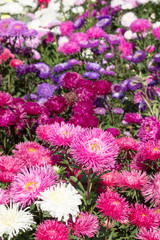 Background from multicolored asters, a bed, a fragment of landscape design