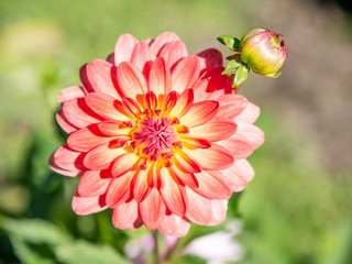 Wall Murals Dahlia Salmon colored dahlia in the garden with a bokeh background