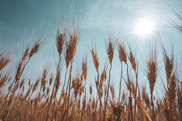 Harvest ready barley in a field with blue sky and sun above