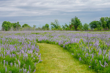 A beautiful trail leading through the lush lavender and purple lupines in Minnesota