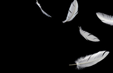Abstract, soft white feathers floating in the air, isolated on black background.