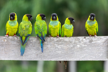 A baeautiful group of Periquito-de-cabeça-preta (Nanday Parakeet), in their natural habitat at Pantanal, Mato Grosso do Sul, Brazil