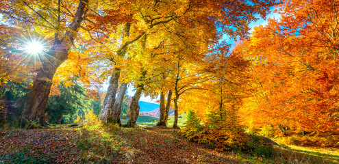In de dag Honing Autumn landscape - tall forest golden trees with sunlight, panoramic