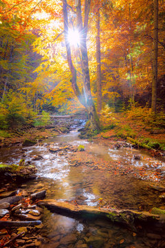 Autumn Morning in wild forest with real sun, colorful big trees and fast mountain river