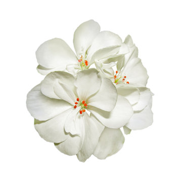 White geranium flower isolated on a white background