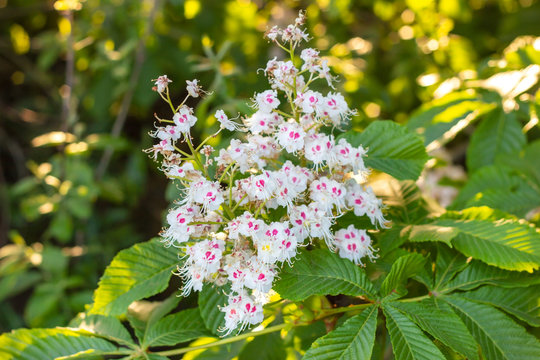 White horse-chestnut (Conker tree, Aesculus hippocastanum) blossoming flowers on branch with green leaves background