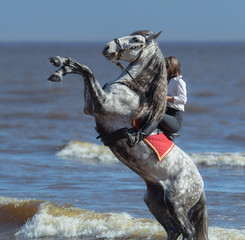 Fototapete - Rearing Andalusian dapple gray stallion and woman on beach.