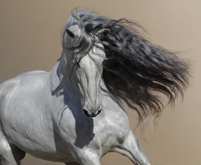 Fototapete - Close up portrait of white Andalusian horse with long mane.