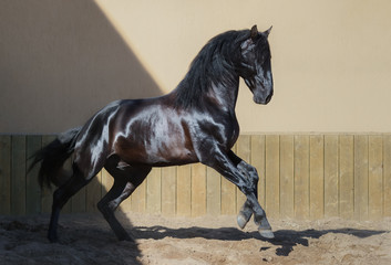 Wall Mural - Beautiful black Andalusian horse running in paddock.