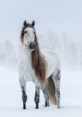 Fototapete - Winter cloudy landscape and grey long-maned Andalusian Horse.