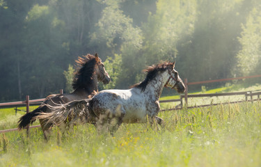 Fototapete - Herd of Spanish horses walks in field. Two stallions galloping on pasture.