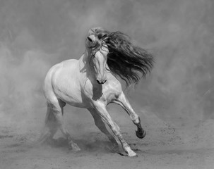 White Spanish horse plays on sand.