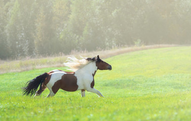 Fotoväggar - Paint horse galloping across summer green meadow.