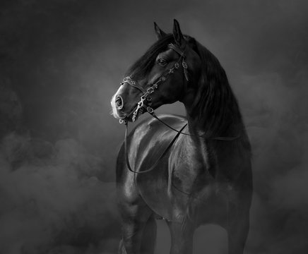 Black-and-White portrait of black Andalusian Horse in light smoke.