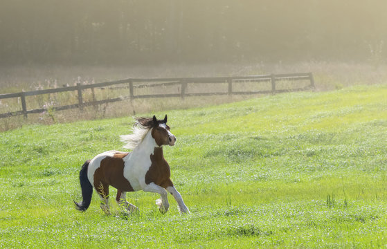 Paint horse galloping across winter snowy meadow on farm.