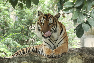 Indonesia tiger is very beautiful in nature.
