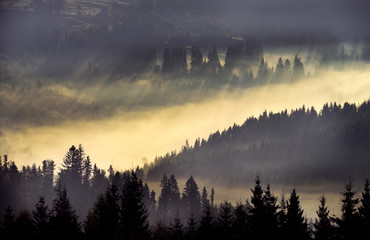Spoed Fotobehang Ochtendstond met mist Incredibly beautiful sunrise in the mountains. Coniferous trees in the fog and the rays of the sun through the foggy forest.