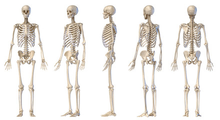 Human male skeleton full figure. Five views.