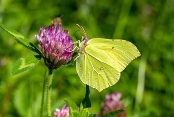 Common Brimstone Butterfly (Gonepteryx rhamni) feeding on a summer flower plant