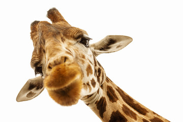Foto auf Gartenposter Giraffe Close up shot of giraffe head isolate on white
