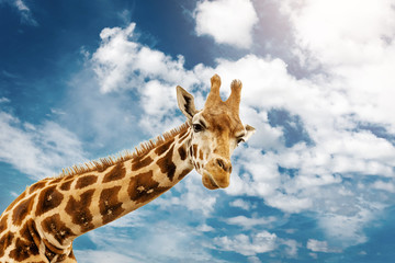 In de dag Giraffe Close up shot of giraffe head on blue cloudy background.