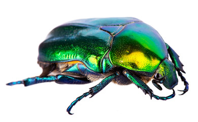 Splendid green beetle isolated on a white background Wall mural