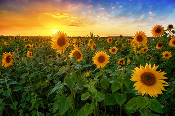 Poster Meloen Beautiful sunset over sunflower field