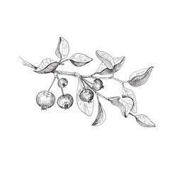 Apple tree branch. Hand drawn sketch style illustration. Isolated on white