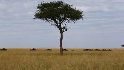 Fototapete - Wildebeest are following each other in the savannah. Great Migration. Kenya. Tanzania. Maasai Mara National Park.