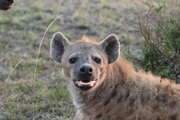 Fotobehang Hyena Spotted hyena (crocuta crocuta) face closeup, Masai Mara National Park, Kenya.