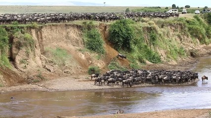 Fototapete - Wildebeests jump from a cliff down to the river. Mara River. Kenya. Great Migration.