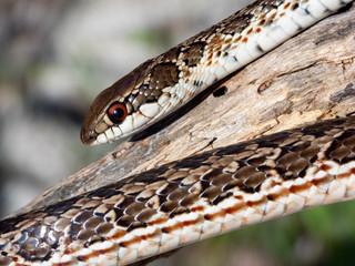 Spotted Skaapsteker Snake (Psammophylax rhombeatus)