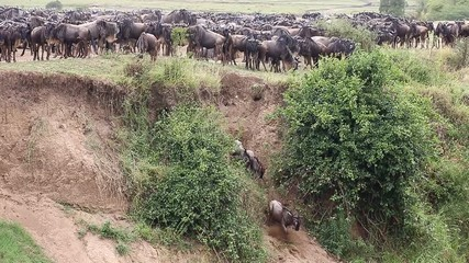 Fototapete - Big herd of wildebeest is about Mara River. Great Migration. Kenya. Tanzania. Maasai Mara National Park.
