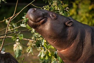 muzzle of a dwarf Liberian hippo, portrait. , a cute little fat hippo eating green foliage and looking. Wall mural