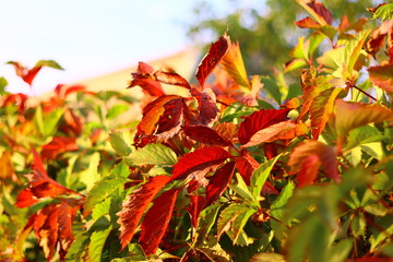 leaves of wild grapes in the fall. red and green autumn leaves.