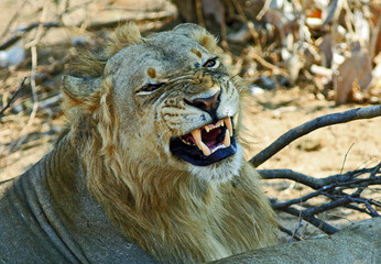 Young Male Lion snarling with teeth visibly on show in South Luangwa National Park, Zambia