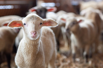 Zelfklevend Fotobehang Schapen Lamm in Schafherde im Stall