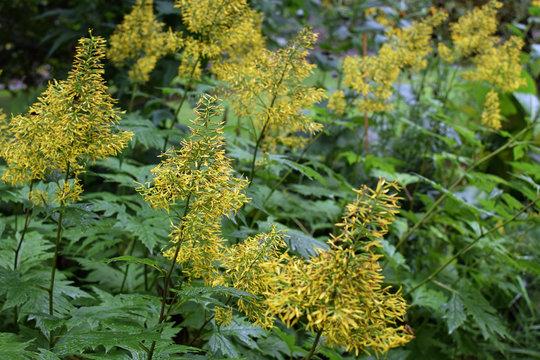 Ligularia tangutica, also known as Chinese ragwort.