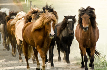 A herd of wild icelandic horses are galopping directly in the direction of the camera