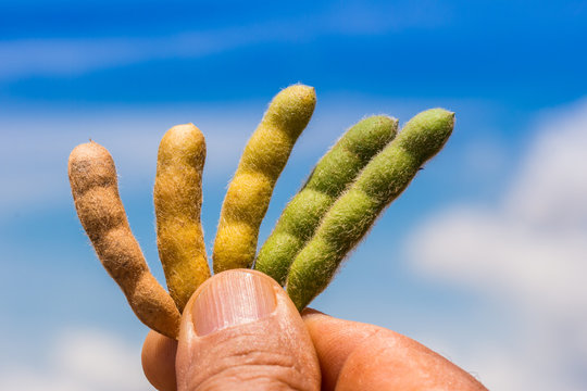 Agriculture, soybean pods at different stages of development, close up macro photography