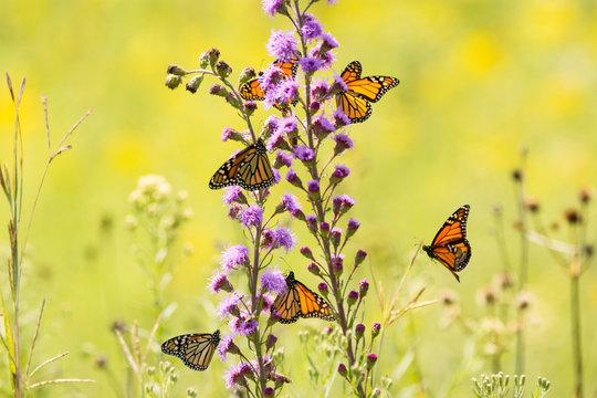 Monarch Butterflies feeding on Tall Blazing Star