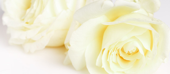 Romantic banner, delicate white roses flowers close-up. Fragrant crem yellow petals