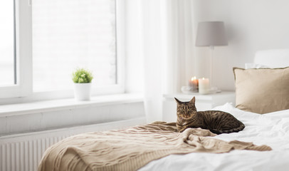 Fototapete - pets, christmas and domestic animal concept - tabby cat lying on bed with knitted woollen blanket at home in winter