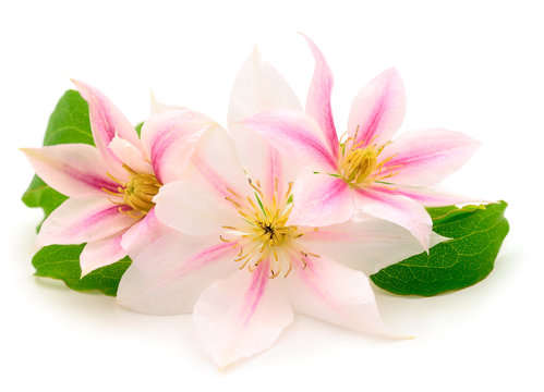Clematis flowers bunch isolated.