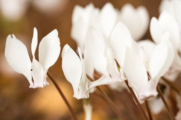 Close up white Cyclamen hederifolium flowers, brown background